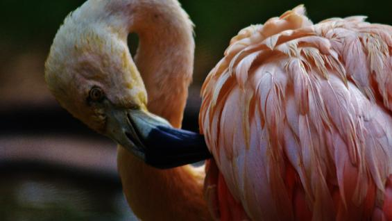 Animales. Flamenco austral, una de las principales bellezas del Zoo platense.