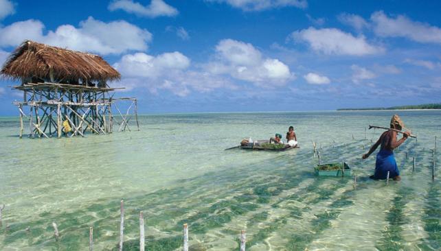 Bajo el agua. Ante el avance del mar, la salinización y la escasez de tierra, muchos kiribatianos tienen granjas de algas marinas.