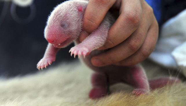 CACHORROS. Los mellizos nacieron la semana pasada (AP).