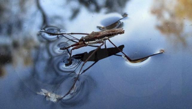 """FLOTACIÓN. Que los mosquitos floten sobre la superficie del agua resulta de una conjugación entre la tensión superficial y la anatomía, ya que la patas tienen """"propiedades impermeables"""". (Aguas Cordobesas)"""