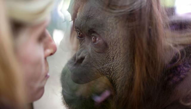 """""""Selfie"""". Está documentado el caso de una orangutana a la que le encantaba adornarse frente al espejo. (Ap / Archivo)"""