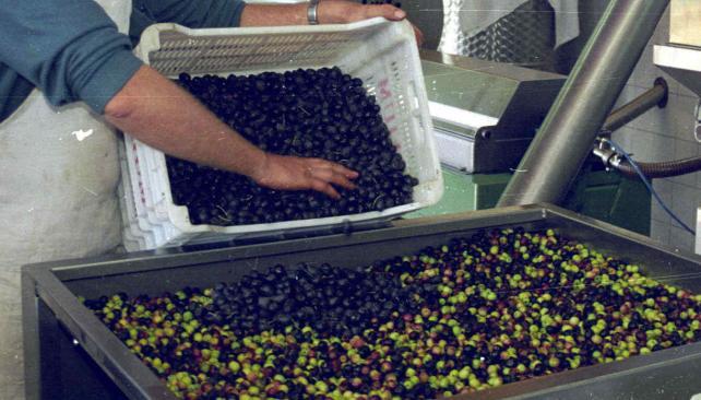 Industria del olivo. Luego de la crisis de 2001, fue un sector que creció. En los últimos años, afrontó dificultades por la suba de costos (La Voz/Archivo).